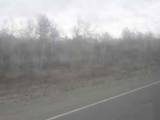 medvěd u silnice, foceno přes okno autobusu