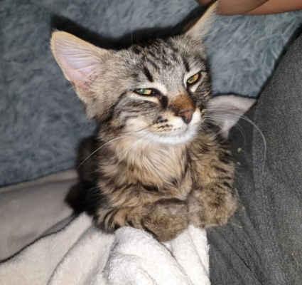 26.8.2020 - Dnes nám přinesly děti kotě, kocourka, kterého našly v lese v Hodoníně u ZOO. Dostal jméno Baltazar a byl umístěn do karantény.