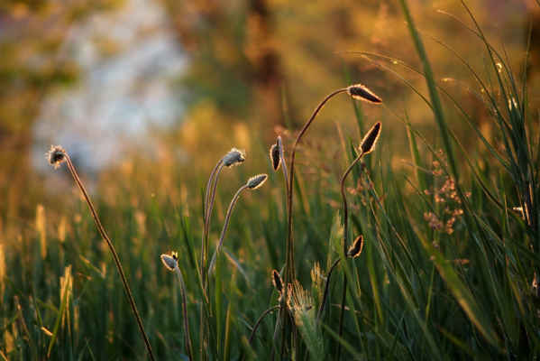 Tráva v zapadajícím sluníčku... Foto Iveta