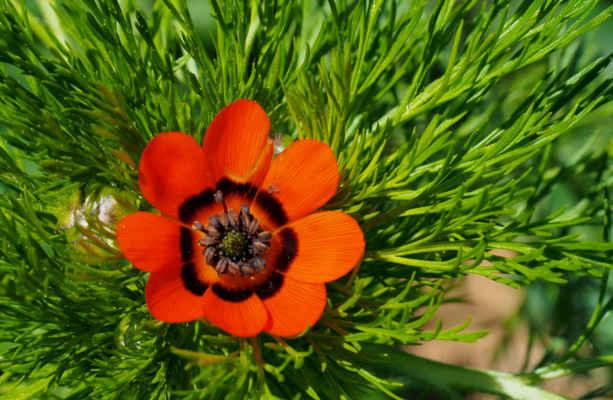 U kapličky kvete hlaváček letní