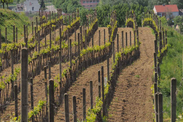 Vinohrady nad Mutěnicemi