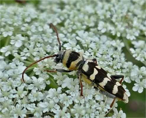 tesařík plagionotus floralis ( Vladimír a Honza)