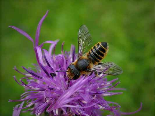 včelka samotářka, a to zřejmě čalounice ( Megachile sp.)  , chilici