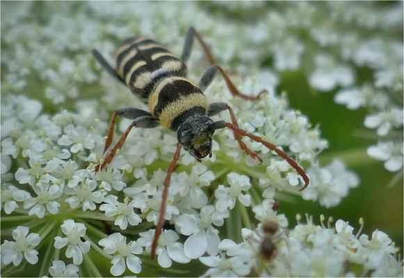 tesařík plagionotus floralis
