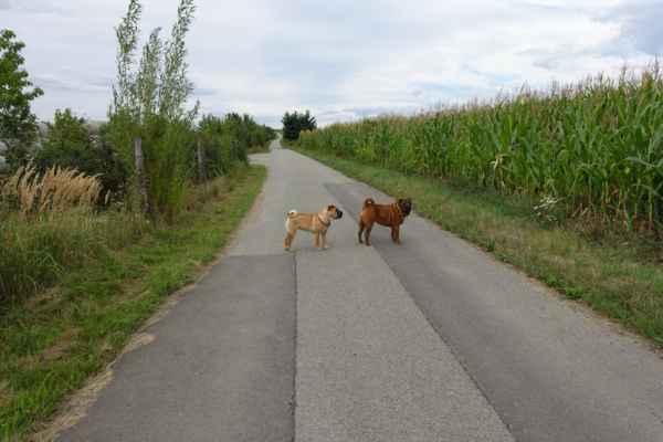 Nejen vinohrady jsou na Jižní Moravě, ale i vysoká kukuřice.