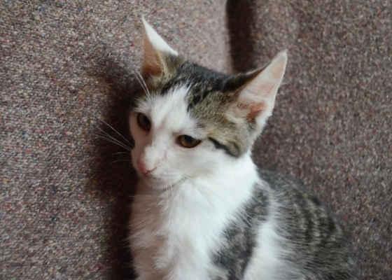 23.9.2020 - Ziggy je trošku bázlivější a potřebuje se co nejdřív dostat do nového domova, je to milý, hravý kocourek, který potřebuje kočičího kamaráda nebo může odejít s některým sourozencem.