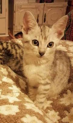 14.9.2020 - Oznamovatelka nám nahlásila, že u silnice, u rybníku Lužák našla tři malinká naříkající koťata. Jsou evidentně zvyklá na lidi, nebojí se a hned se k paní přidali. Jsou to dvě světle šedé kočičky a tmavší kocourek, bohužel nemocní, zahnisaná očka. Nejmenší kočička je Hanička, větší Liby a kocourek Kleo.